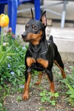 忻州纯大骨架黑狼犬多少钱一只养狗场联系方式图片
