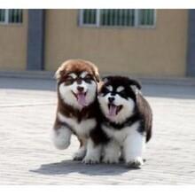 鶴壁熊版阿拉斯加犬繁殖基地出售幼崽多只圖片