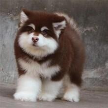 邢台精品熊版阿拉斯加犬什么价格售后保健康可送货图片
