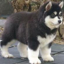 甘南三四個月的阿拉斯加犬多少錢繁殖保健康純種圖片