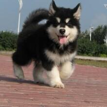 本地阿拉斯加犬能漲多大什么價格哪里出售圖片