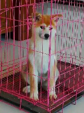 青島哪里有出售秋田犬的秋田犬幼崽怎么賣哪里能買到圖片
