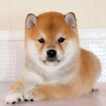 哪里有出售秋田犬的养殖基地品质保证图片