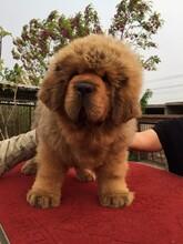 陽江哪里有出售藏獒犬的血統純正全國發貨圖片