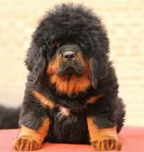 四平哪里有出售藏獒犬的血統純正全國發貨圖片