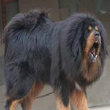 揚州哪里有出售藏獒犬的血統純正全國發貨圖片