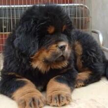丹東哪里有出售獵犬杜高犬的杜高血統純正全國發貨圖片