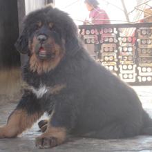 西安哪里有出售藏獒犬的血统纯正全国发货图片