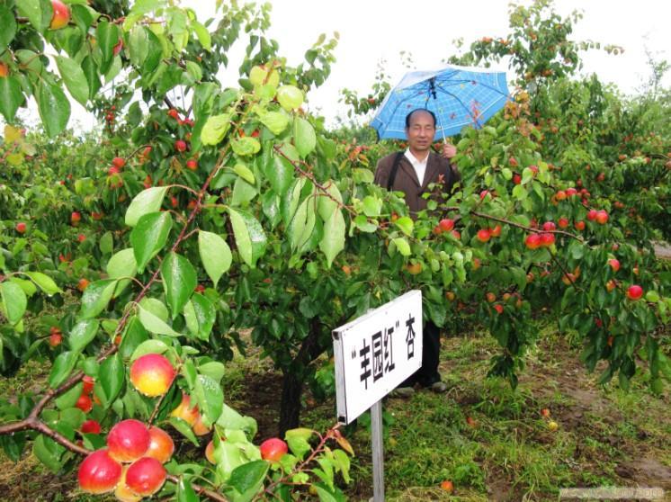 陕西丰园红杏供应价格,丰园红杏大量上市供应