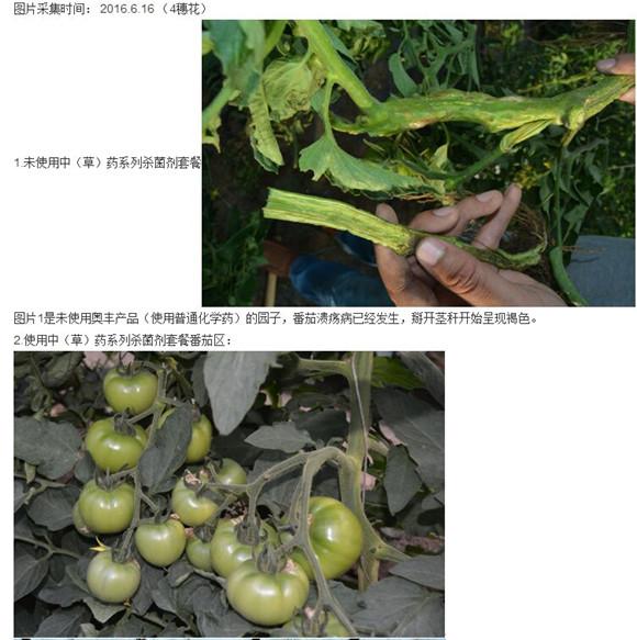 青枯病農藥專治番茄青枯病潰瘍病枯萎病圣女果茄子專用