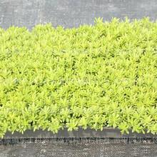 佛甲草屋顶绿化、屋顶绿化佛甲草、佛甲草批发、佛甲草种植基地图片