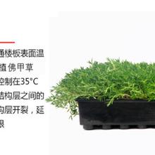 佛甲草屋顶绿化草图片