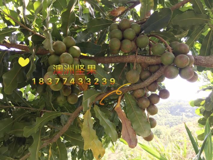 【澳洲坚果苗价格澳洲坚果几年可以挂果澳洲坚果苗多少钱一棵】-黄