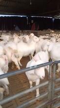 2021年美國山羊價格在線咨詢免費學習肉羊養殖技術圖片