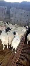 純小尾寒羊活體肉羊湖羊小公羊頭胎二胎懷孕母羊羊羔羊苗價格圖片