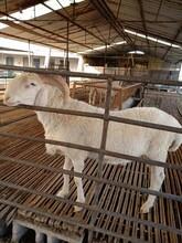 养殖肉羊山羊羔羊苗白山羊小尾寒羊批发活羊厂家出售批发图片