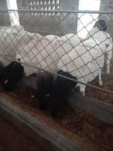 廠家批發活體黑頭杜泊綿羊肉羊苗養殖杜泊羊圖片