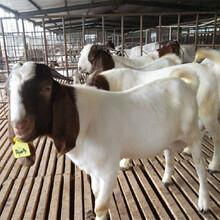 批發黑山羊肉羊價格美國白山羊價格山羊羊羔出售圖片
