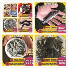荐鱼苗芝麻剑鱼苗西江芝麻剣鱼苗斑饥极鱼苗大量出售图片
