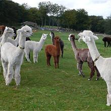 北京昌平羊駝什么地方有羊駝,羊駝養殖場圖片