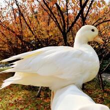 湖南永州供應羊駝圖片