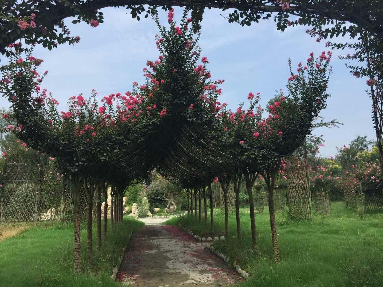 紫薇长廊编织造型定制,统一规格长廊造型树