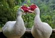 你知道番鴨該如何養殖嗎?如何養好番鴨,怎么讓番鴨紅臉