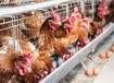 如何提高雞的產蛋率雞產蛋率高產蛋率怎么快速提高