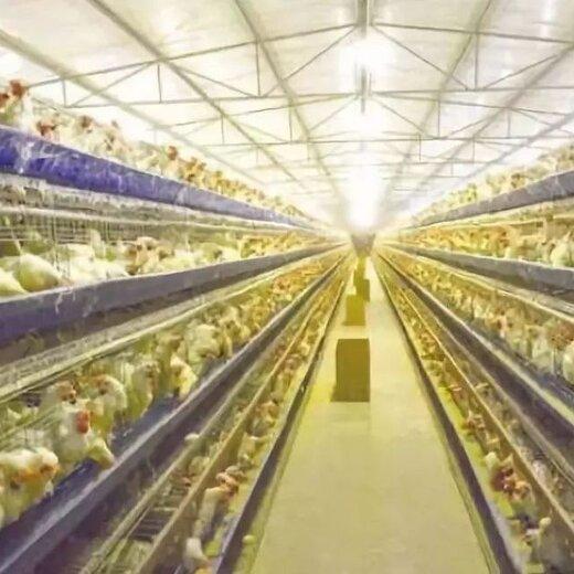 几个技巧蛋鸡产蛋率如何提高导致的蛋鸡产蛋率下降怎么办