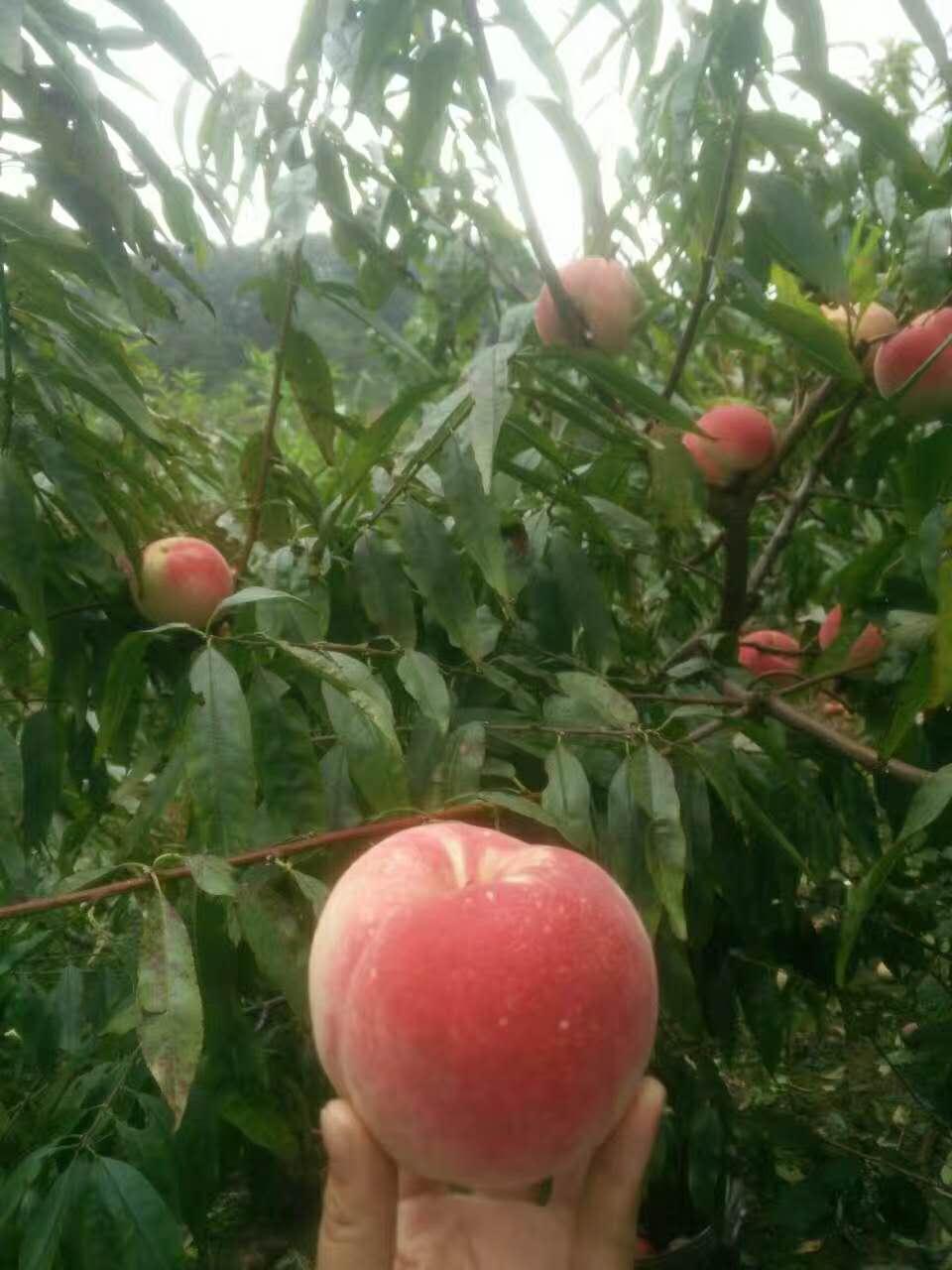 胭脂脆桃最佳种植时间