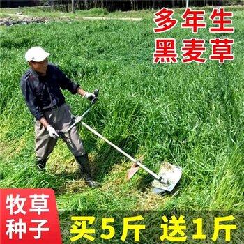 鞍山草籽種子供應一元一斤√