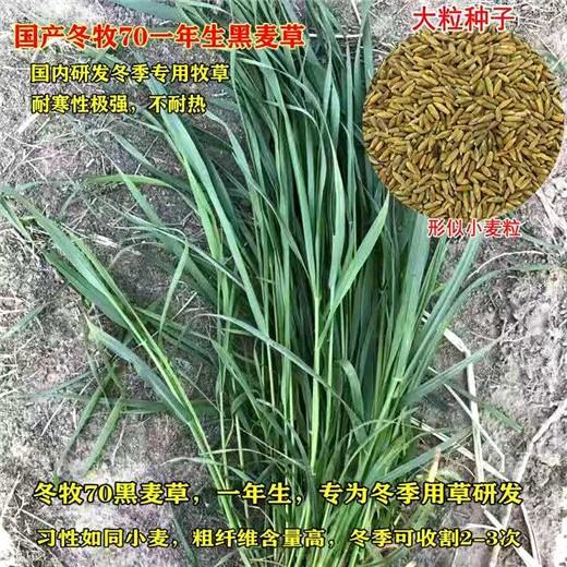 鞍山牧草種子批發商