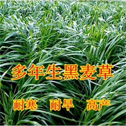 鞍山草籽種子 供應 一元一斤√