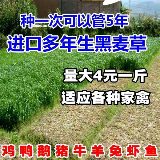 哪种牧草蛋白质高草籽草种种子经销商出售