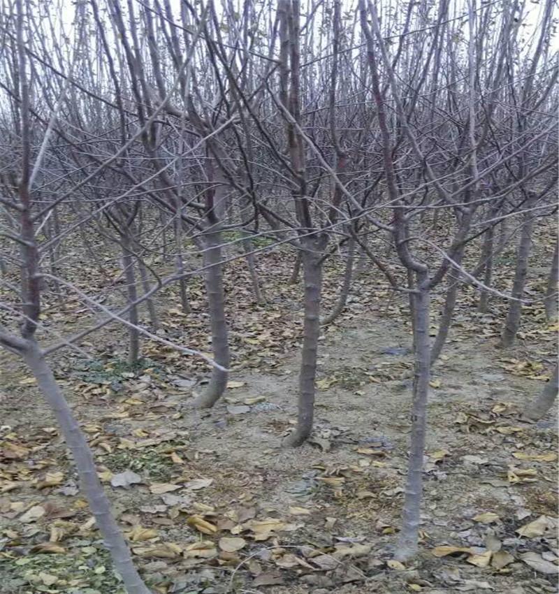 红肉矮化苹果苗几年结果山东基地供应