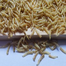 四川五谷蟲蠅蛆養殖基地常年成都周邊鮮活昆蟲水產飼料圖片
