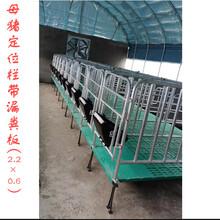 厂家订做养猪设备母猪限位栏尺寸母猪保胎栏材质猪栏一组十猪位图片