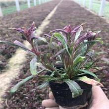 紫葉紅花山桃草幼苗白色山桃草盆栽苗多年生耐寒宿根花卉千鳥花