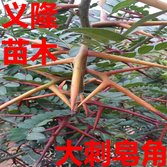 皂角是我国特有的苏木科皂荚属树种之一,应呈剑鞘状,略弯曲,长100~400mm,宽约40 mm,厚10~15 mm。表面红褐色,被灰色粉霜,种子所在处隆起。两端略尖,基部渐窄而弯曲,有短果梗或果梗痕,两侧有明显的纵棱线。种多数,扁椭圆形,黄棕色,光滑。质硬。气微,有刺激性,味辛辣。 完整的棘刺常分枝,有时再分小枝,刺端锐尖,基部扁圆柱状,全长约10cm或更长,基部直径0.