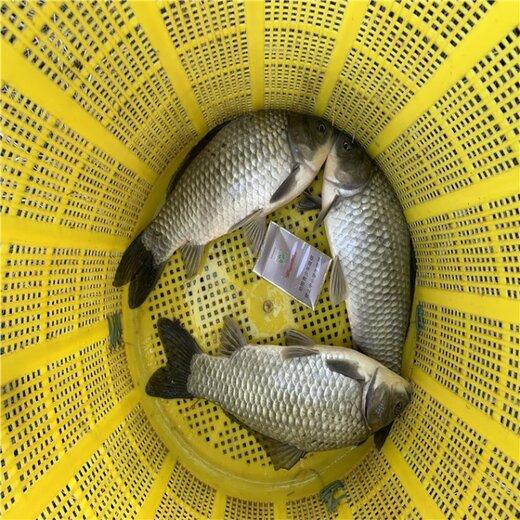 高成活率鯽魚苗騰海全年供應鯽魚苗寸苗淡水養殖全國出售