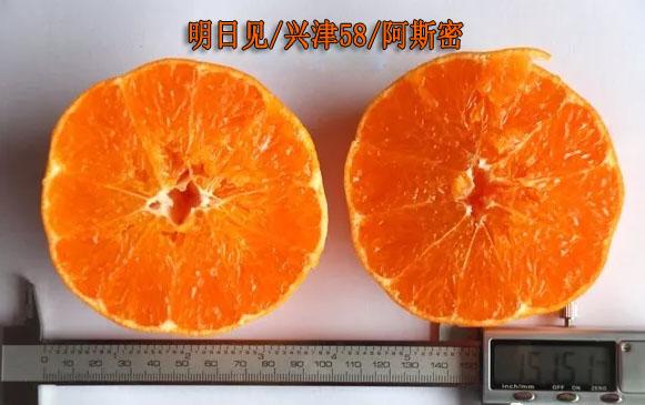 明日见柑桔品种简介