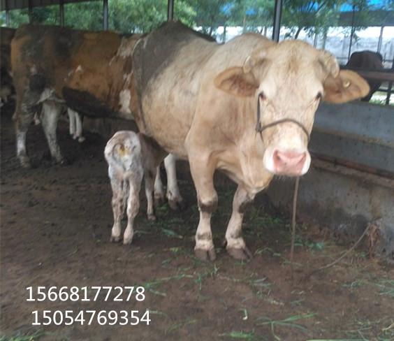 【300-400斤海福特牛母牛犊多少钱】-黄页88网