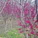 紅梅小苗價格-1米至1米5高紅梅小苗參考價格