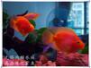 宜興上門清洗魚缸魚池洗魚缸觀賞魚銷售