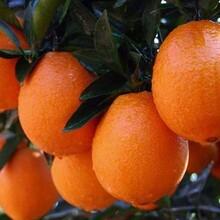 重庆奉节脐橙