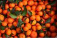 供应批发水果优质砂糖桔,砂糖橘价格,沙糖桔批发,帮代收