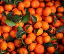 供应批发水果优质砂糖桔,砂糖橘价格,沙糖桔批发,帮代收图片