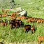 安溪县山羊肉批发价格图片