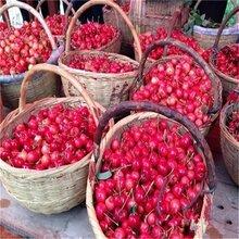 大量供应山东大樱桃鲜果新鲜大樱桃个大口感好