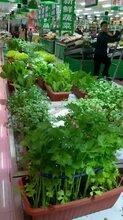 北京無農藥無化肥有機盆栽蔬菜請選擇綠豐有機盆菜圖片